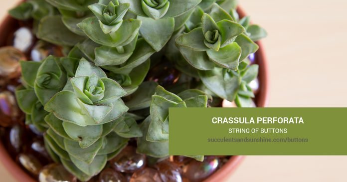 Crassula perforata String of Buttons care and propagation information