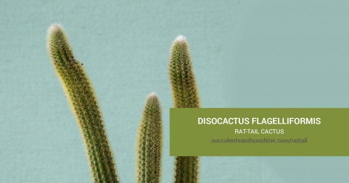 Disocactus flagelliformis Rat-Tail Cactus care & propagation information