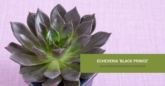 Echeveria 'Black Prince' care and propagation information