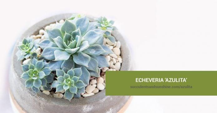 Echeveria 'Azulita' care and propagation information