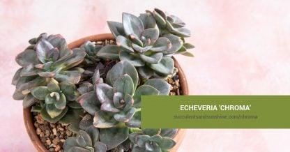 Echeveria 'Chroma' care and propagation information