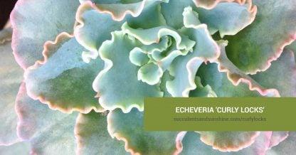 Echeveria 'Curly Locks' care and propagation information