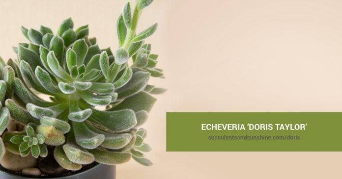 Echeveria 'Doris Taylor' and propagation information