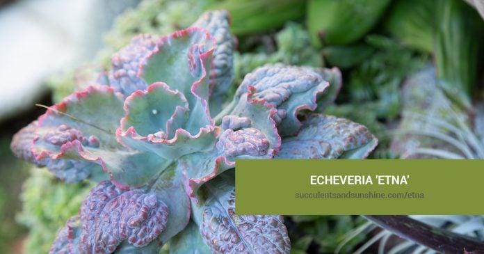 Echeveria 'Etna' care and propagation information