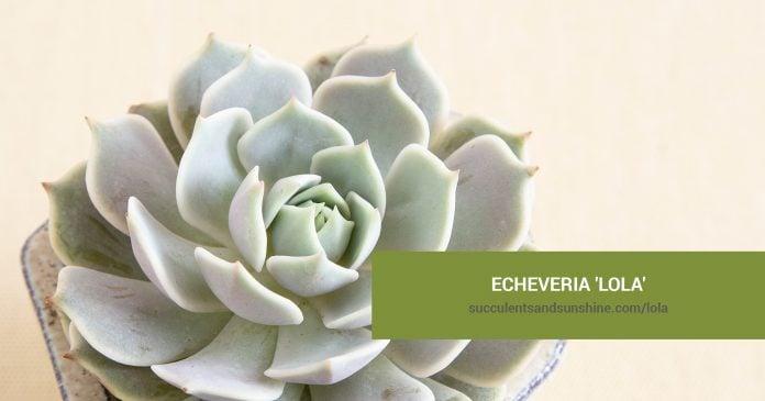 Echeveria 'Lola' care and propagation information