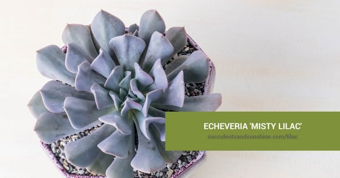Echeveria 'Misty Lilac' care and propagation information