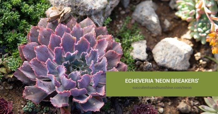 Echeveria 'Neon Breakers' care and propagation information