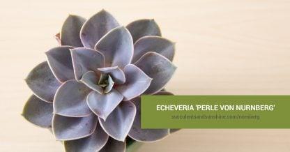 Echeveria Perle von Nurnbe care and propagation information