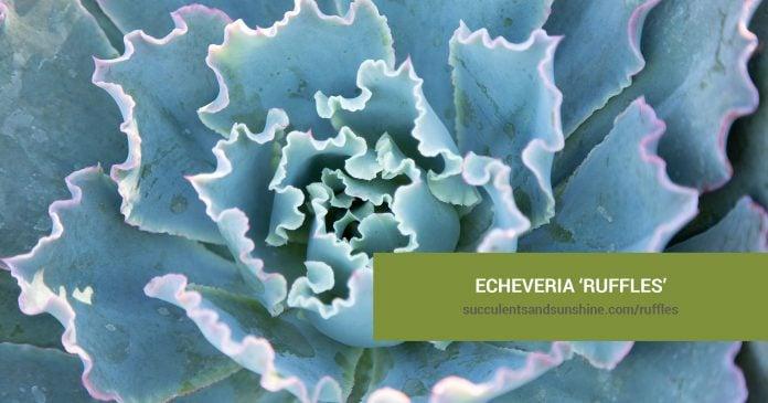 Echeveria 'Ruffles' care and propagation information