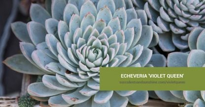 Echeveria 'Violet Queen' care and propagation information