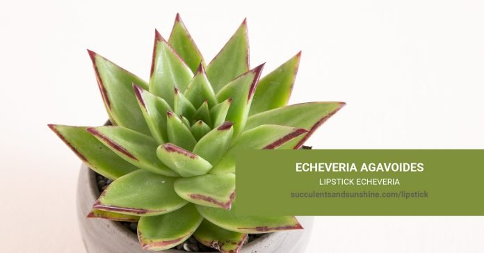 Echeveria agavoides Lipstick Echeveria care and propagation information
