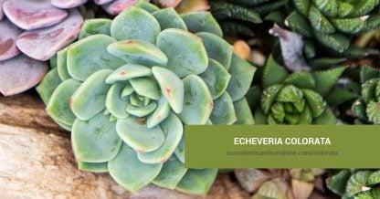 Echeveria colorata care and propagation information