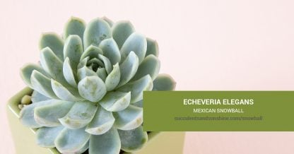 Echeveria elegans Mexican Snowball care and propagation information