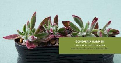 Echeveria harmsii Plush Plant care and propagation information