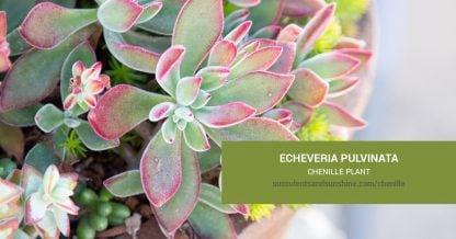 Echeveria pulvinata Chenille Plant care and propagation information