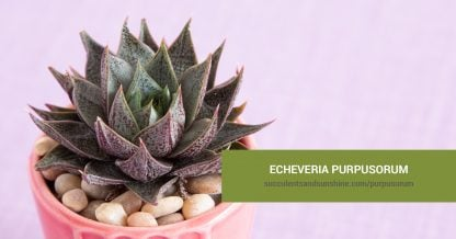 Echeveria purpusorum care and propagation information
