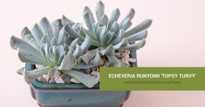 Echeveria runyonii 'Topsy Turvy' care and propagation information