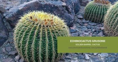 Echinocactus grusonii Golden Barrel care and propagation information