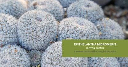 Epithelantha micromeris Button Cactus care and propagation information