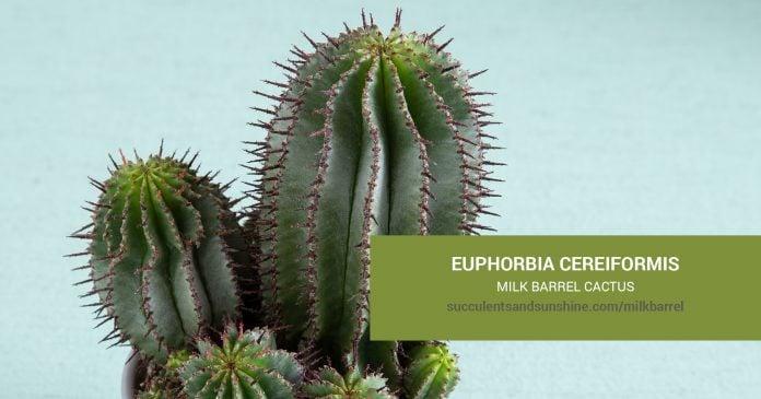 Euphorbia cereiformis Milk Barrel Cactus care and propagation information