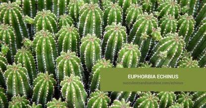 Euphorbia echinus care and propagation information