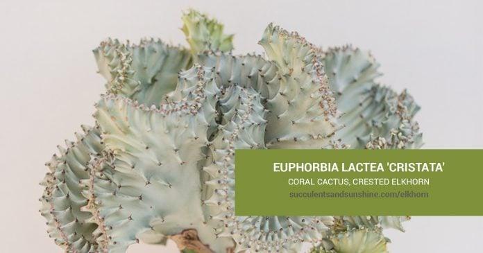 Euphorbia lactea 'Cristata' care and propagation information