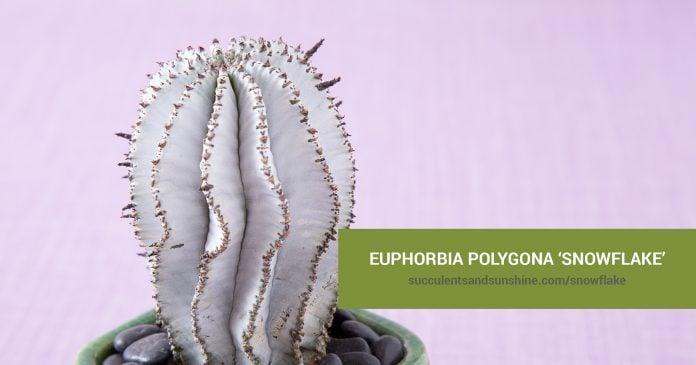 Euphorbia polygona 'Snowflake' care and propagation information