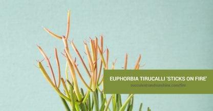 Euphorbia tirucalli 'Sticks on Fire' care and propagation information