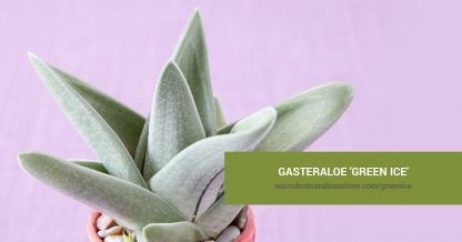 Gasteraloe 'Green Ice' care and propagation information