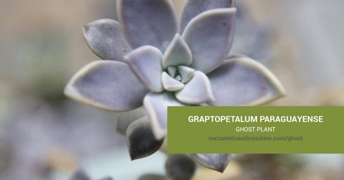 Graptopetalum paraguayense Ghost Plant care and propagation information