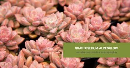 Graptosedum 'Alpenglow' care and propagation information