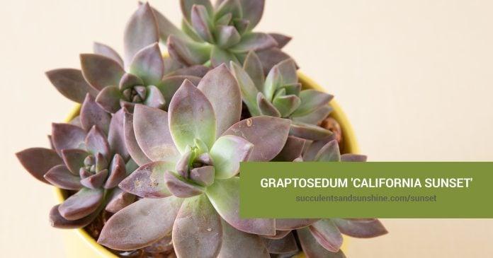 Graptosedum 'California Sunset' care and propagation information