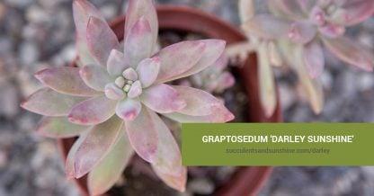 Graptosedum 'Darley Sunshine' care and propagation information