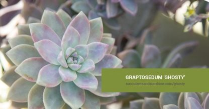 Graptosedum 'Ghosty' care and propagation information