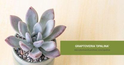 Graptoveria 'Opalina' care and propagation information