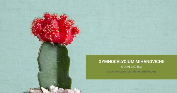 Gymnocalycium mihanovichii Moon Cactus care and propagation information