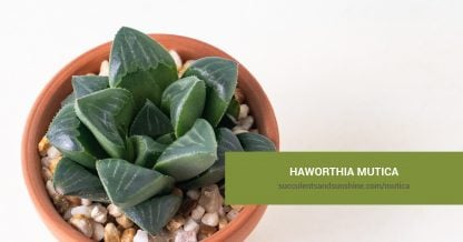 Haworthia mutica care and propagation information