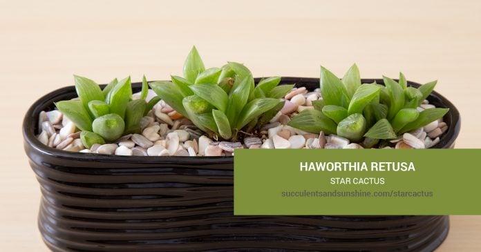 Haworthia retusa Star Cactus care and propagation information