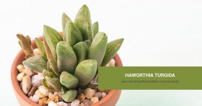 Haworthia turgida care and propagation information