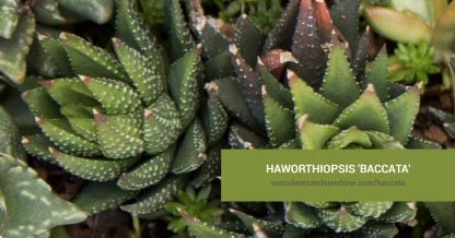 Haworthiopsis 'Baccata' care and propagation information