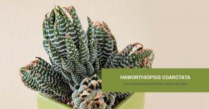 Haworthiopsis coarctata care and propagation information