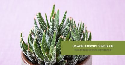 Haworthiopsis concolor care and propagation information