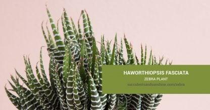 Haworthiopsis fasciata Zebra Plant care and propagation information