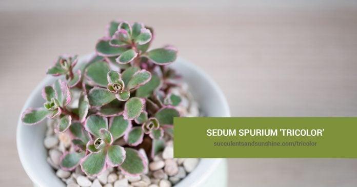 How to care for Sedum spurium 'Tricolor'