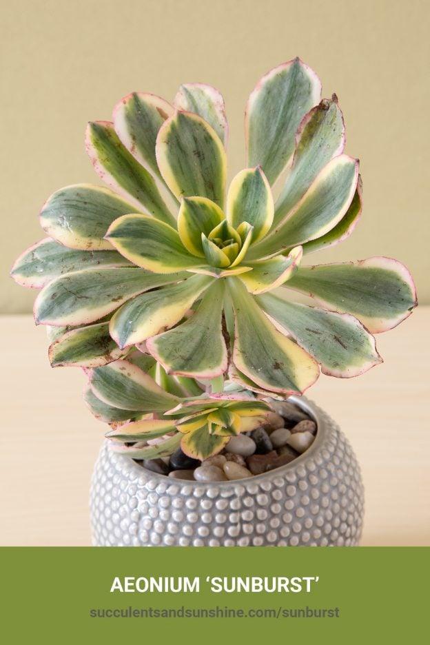 How to care for and propagate 'Aeonium Sunburst'