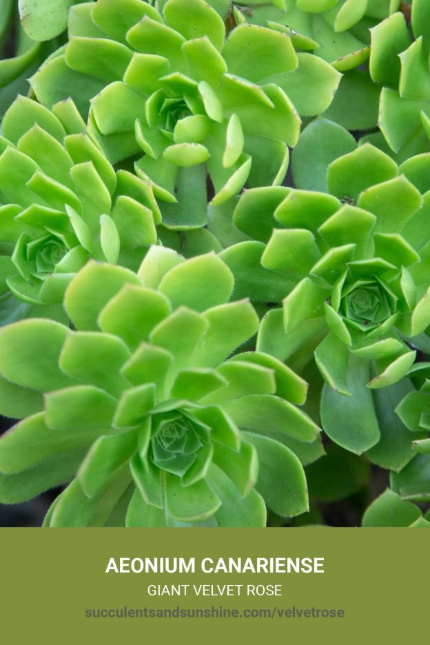 How to care for and propagate Aeonium canariense 'Giant Velvet Rose'