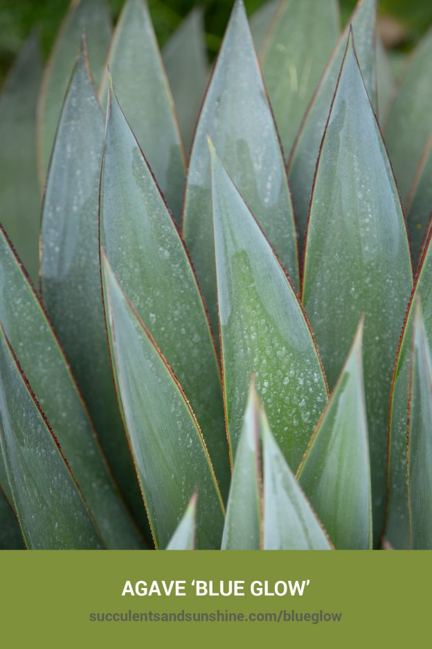 How to care for and propagate Agave 'Blue Glow'