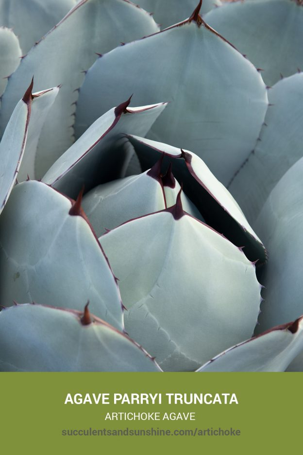 How to care for and propagate Agave parryi truncata Artichoke Agave