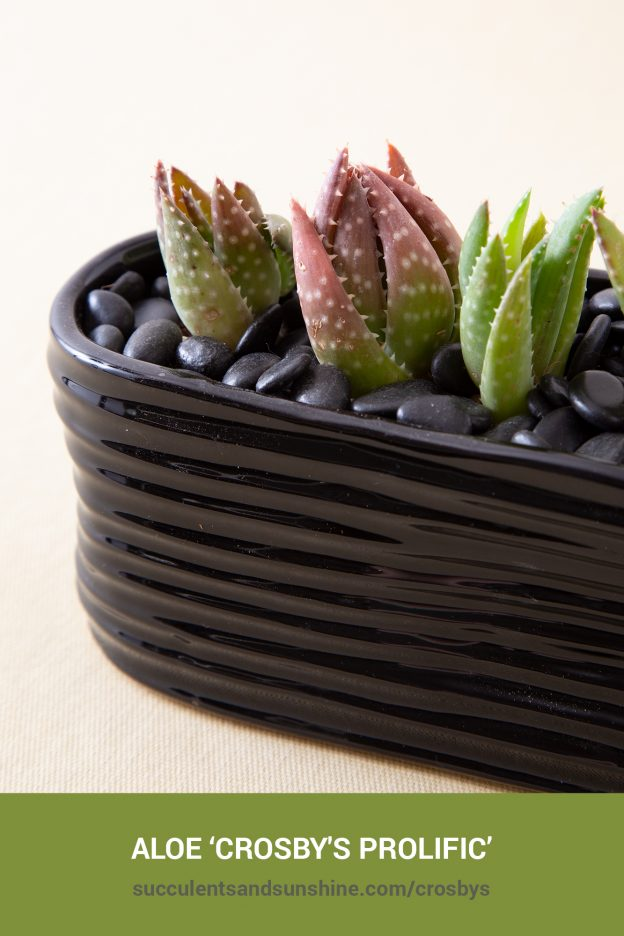 How to care for and propagate Aloe 'Crosbys Prolific'