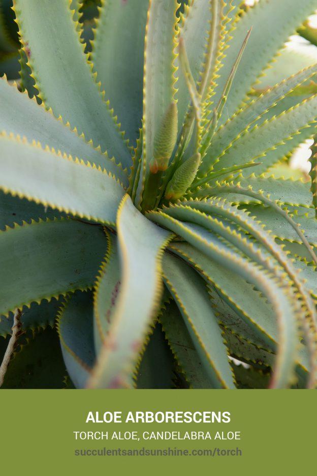 How to care for and propagate Aloe arborescens Torch Aloe Krantz Aloe Candelabra Aloe